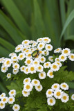 Flowering Pyrethrum closeup with goldsmith beetle sitting on it poster
