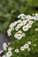 Flowering Pyrethrum
