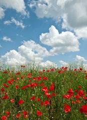 czerwone maki i pochmurne niebo