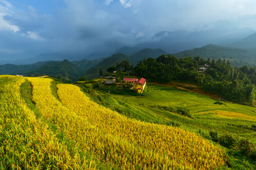 Golden rice terraces in Vitnam.
