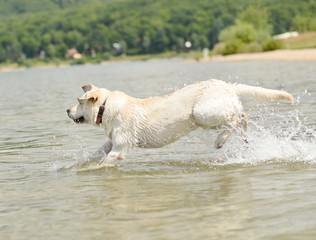 Labrador Retriever de sauter dans l'eau