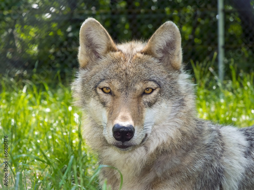 Foto op Canvas Wolf European gray wolf (Canis lupus lupus)