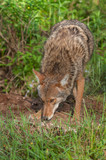 Coyote (Canis latrans) Sniffs Ground Outside Den poster