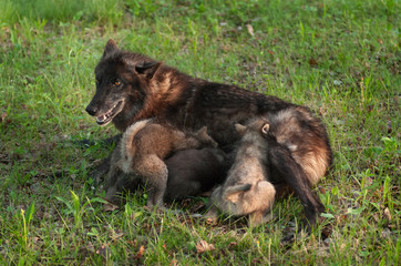 Black Wolf (Canis lupus) Nurses Wolf Pups