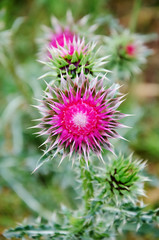 Prickly thistle