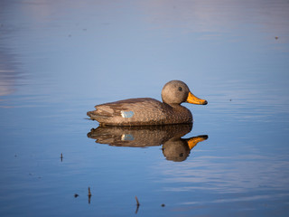 Female Mallard decoy