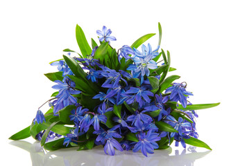 Scilla blue flowers