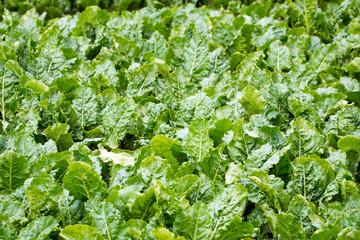 Gemüseanbau auf einem Feld