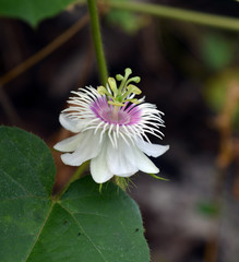 Fetid passionflower, Scarletfruit passionflower, Stinking passio