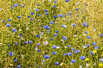 Kornblumen auf einem Feld