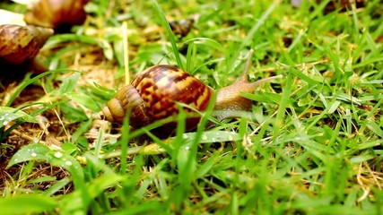 Closeup of many crawling, loving and eating Snails in the grass.