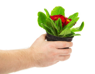 Pot with a primula in the man's hand
