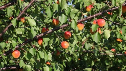 Apricot fruit at tree  branch in orchard