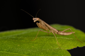 Brown mantis on a green leaf on a black background.