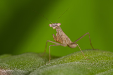 Brown mantis on a green leaf.