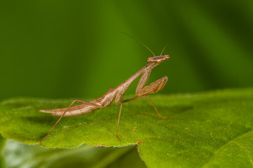 Brown mantis on a green leaf, portrait.
