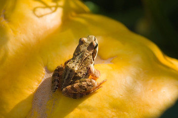 Frog on the pumpkin under sunlight
