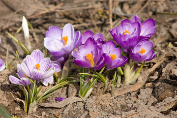 Crocuses under sunlight