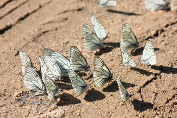 Many white butterflies on the brown sand