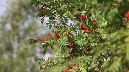 Rowan tree with red berry in the wind