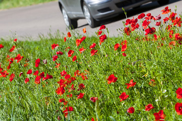 Asphalt road and poppies.