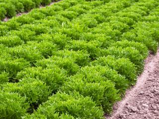 Neue Salatsorte - Salanova Crispy Excite grün