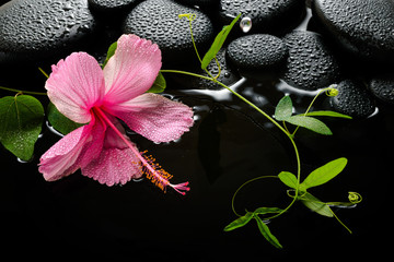 spa concept  of  blooming pink hibiscus, green tendril passionfl
