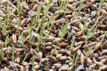 Sprout of wheat