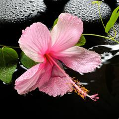 Beautiful spa setting of delicate pink hibiscus, green tendril p