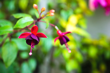 blossoming branch red and dark-cherry fuchsia in nature, `Huet