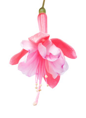 blossoming beautiful delicate pink fuchsia, isolated on white ba
