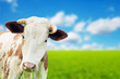 Funny cow on a green summer meadow. Blurred background