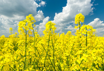 Closeup of yellow rapeseed field and blue sky