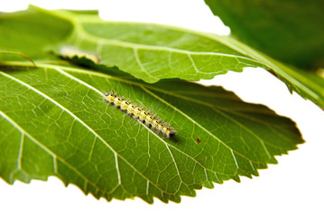moth caterpillar on a green leaf