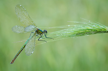 Macro of damselfly