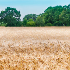 Getreidefeld im Sommer, Gerste, Ernte, Landwirtschaft