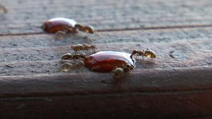 Trinkende Ameisen im Zeitraffer