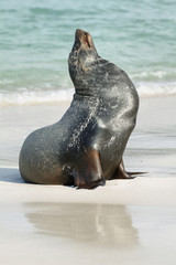 Imposing male of Sea Lion