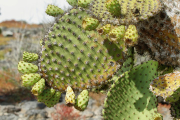 Detail of cactus in South Plaza island