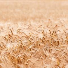 Getreidefeld, Gerste, Lebensmittelproduktion, Landwirtschaft