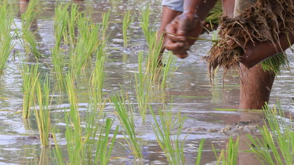 Farmer to transplant rice seedlings , Thailand