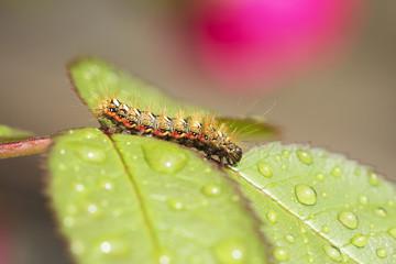 Насекомые гусеница Стрельчатка щавелевая