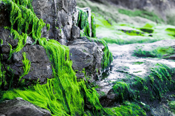 Bright green seaweed growing on rocks