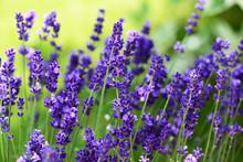 """Постер, картина, фотообои """"Lavendel"""""""