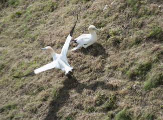 Pair of nesting gannets on grassy slope