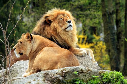 canvas print picture Löwin und Löwe