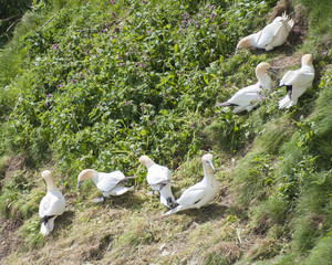 Gannets collecting nesting materials