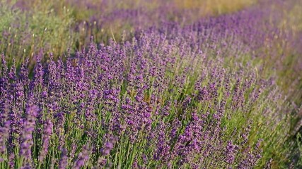 Lavender flowers field. Nature composition.