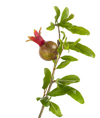 Small pomegranate on branch isolated on white background