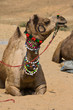 Camel at the Pushkar Fair , Rajasthan, India